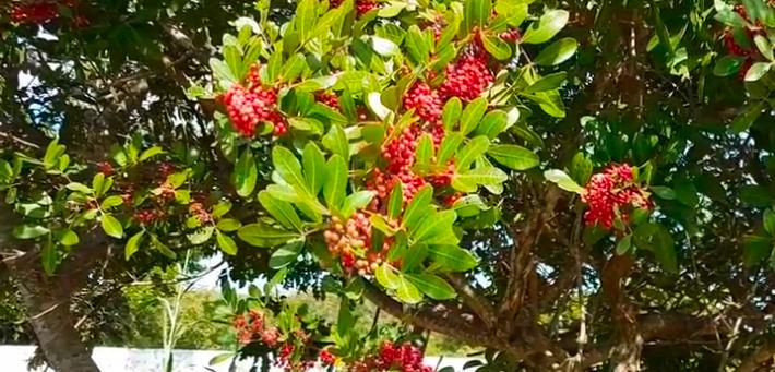 arbol de Aroeira o pimienta rosa