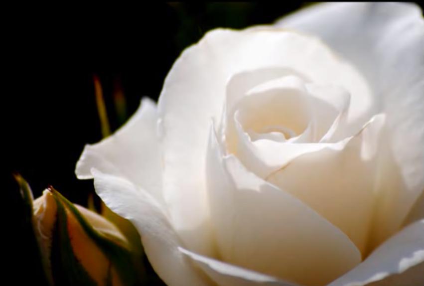baño de rosas blancas