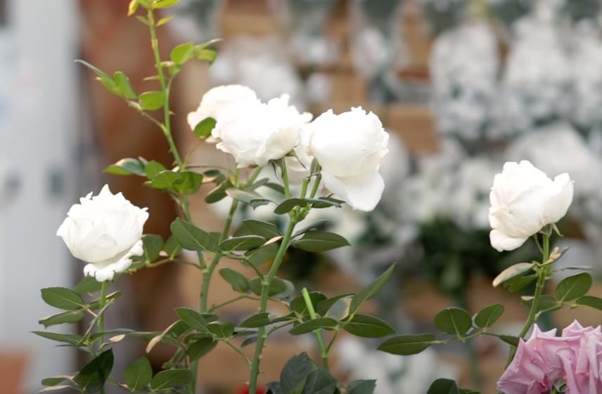 cinco rosas blancas