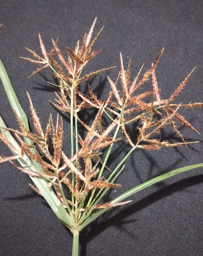 planta tiririca