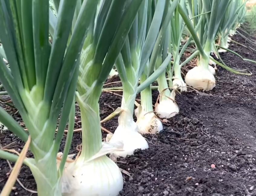 Ritual de las cebollas