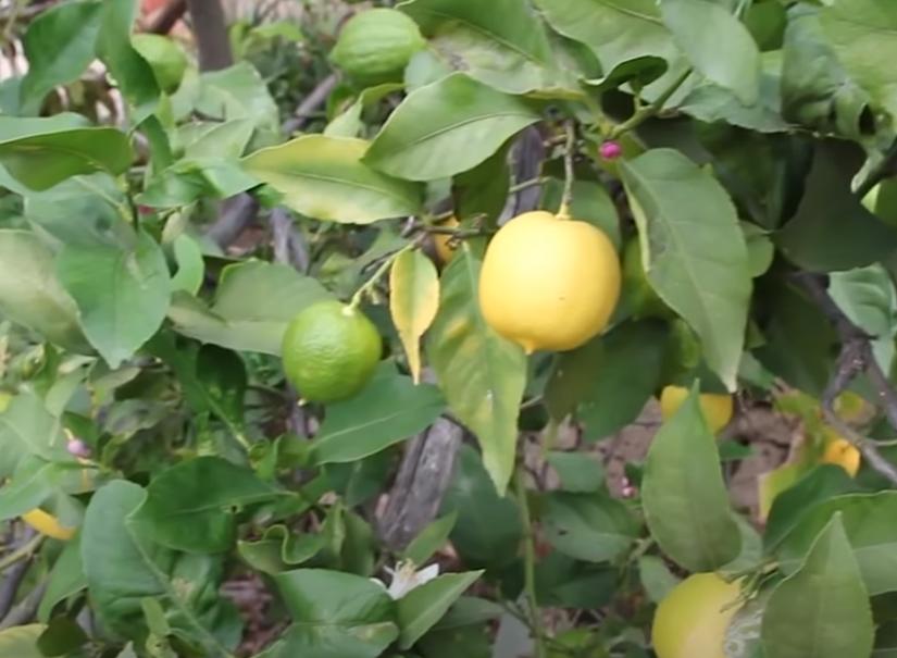 Ritual de los limones