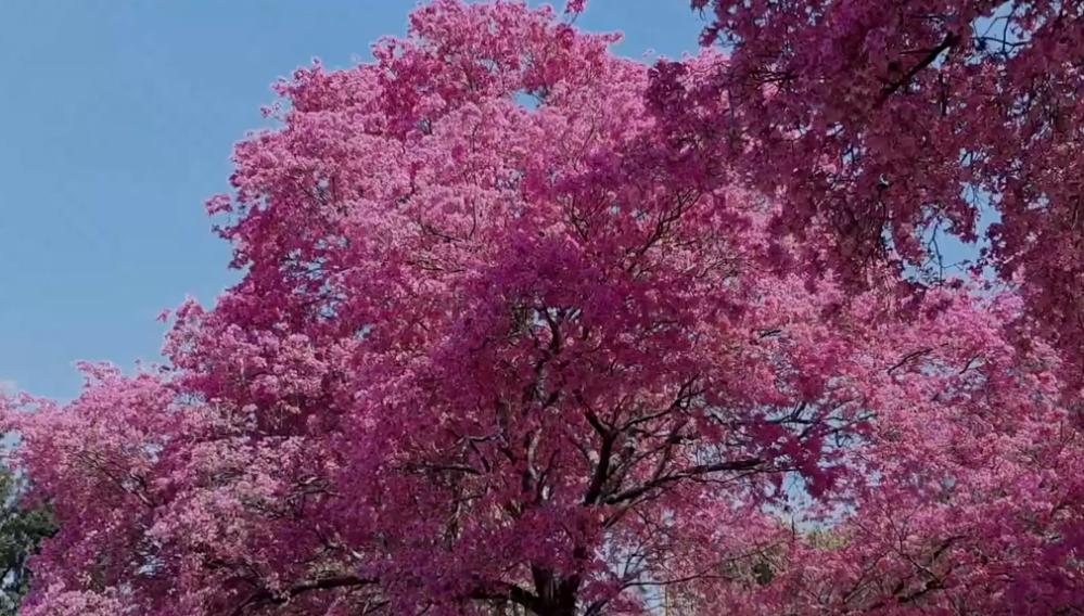 Tres hojas de lapacho rosa